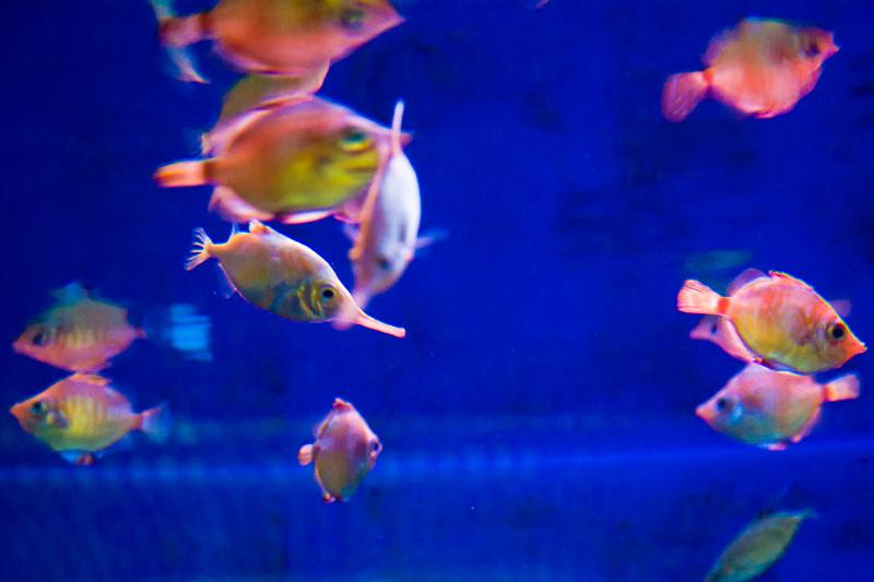 Pesce trombetta (macroramphosus scolopax)