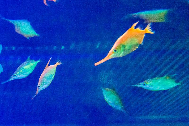 Pesce trombetta