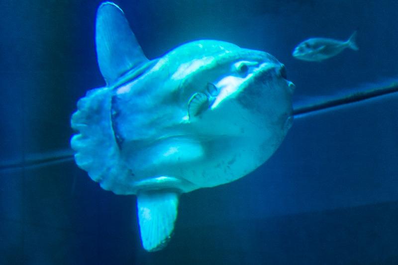 Pesce luna (Mola mola)