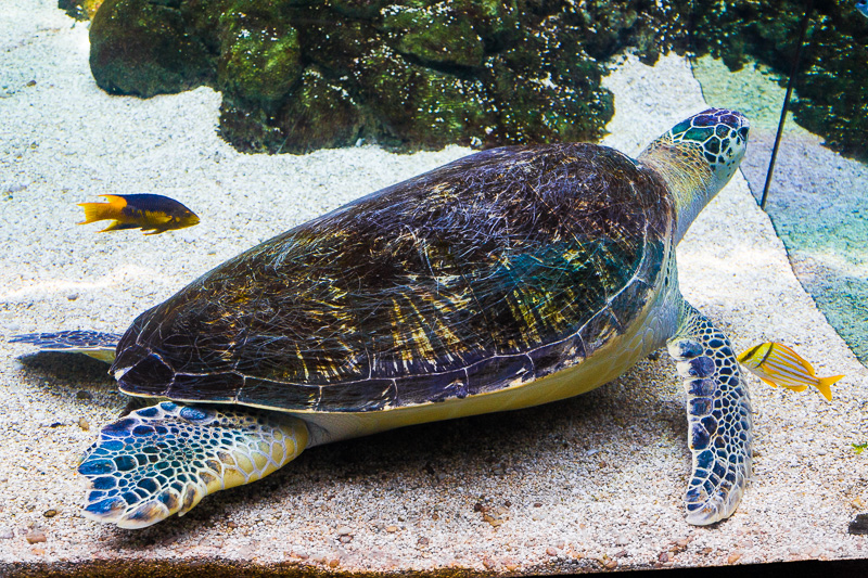 Tartaruga marina verde (chelonia mydas)