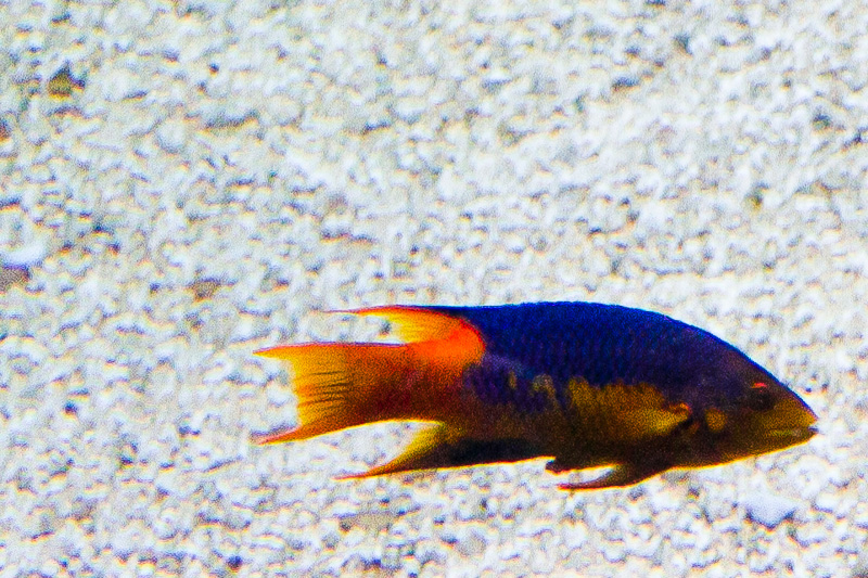 Bodianus rufus (Labridae)