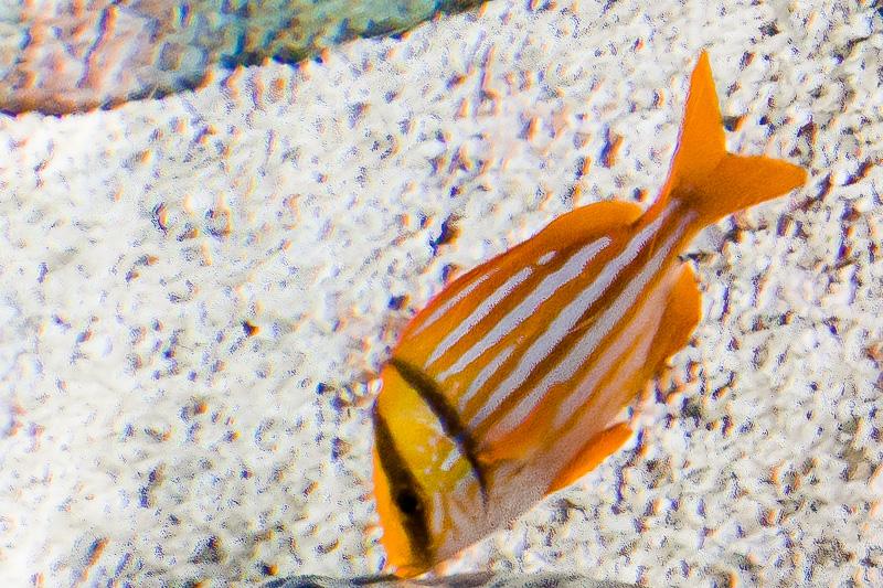 Pesce Porco (Anisotremus virginicus oppure Sparus Vittatus)