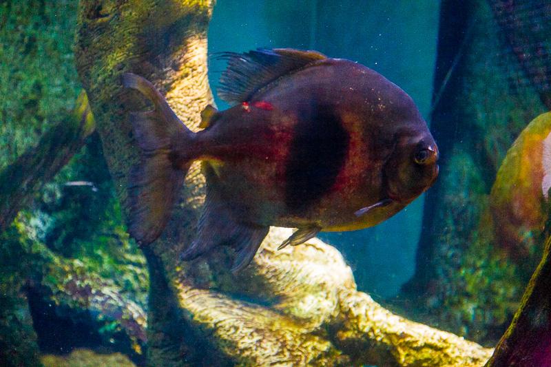 Piranha vegetariano (Myleus Schomburgkii)
