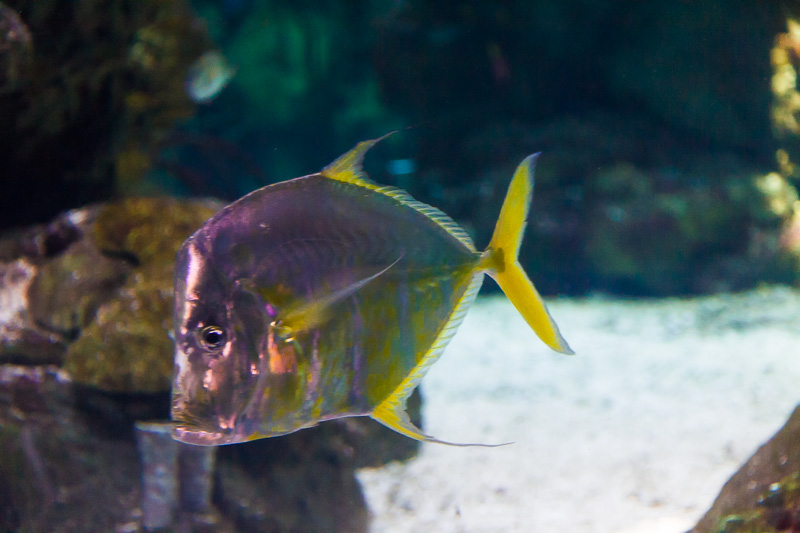Pesce Selene Vomer (carangidi)