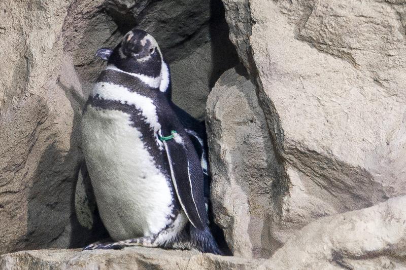 Pinguino di Magellano (Spheniscus Magellanicus)