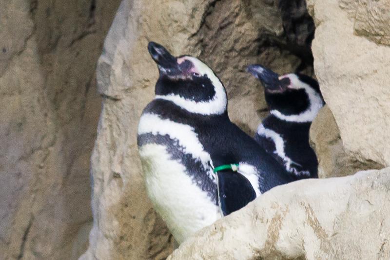 I pinguini di Magellano