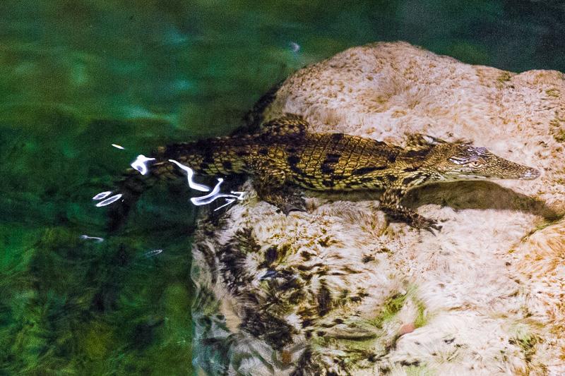 Un cucciolo di coccodrillo del Nilo (Crocodylus Niloticus)