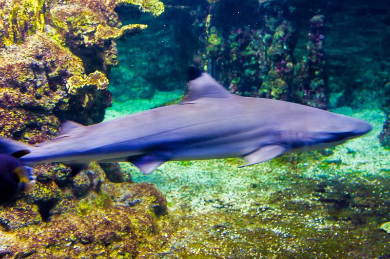 Squalo Grigio (Carcharhinus plumbeus)