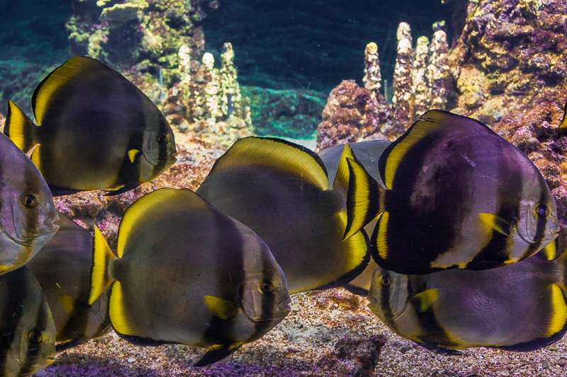Pesce Pipistrello Bruno (Platax Teira)