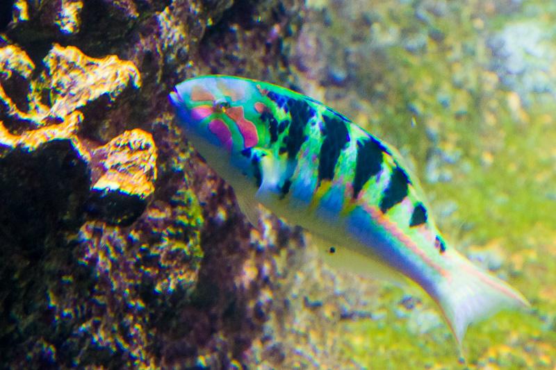 Labride verde e blu (Thalassoma lunare)