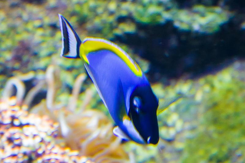 Pesce Chirurgo (Acanthuridae)
