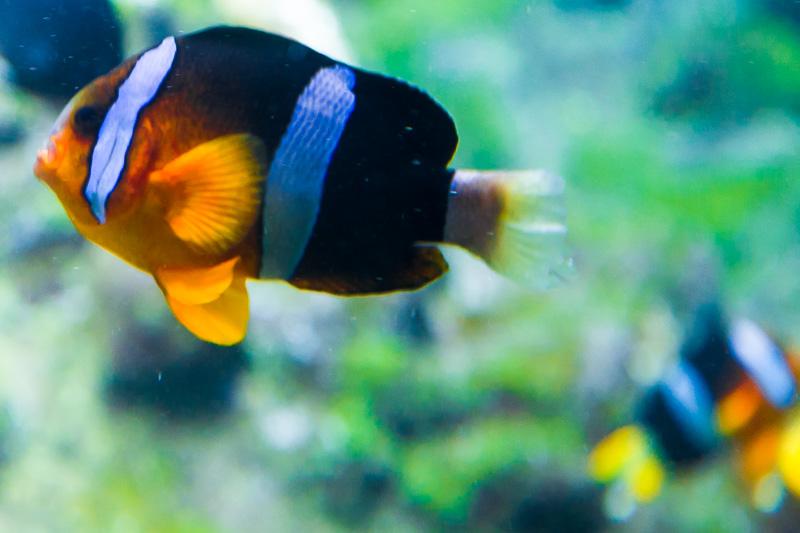 Pesce Pagliaccio (amphiprion clarkii)