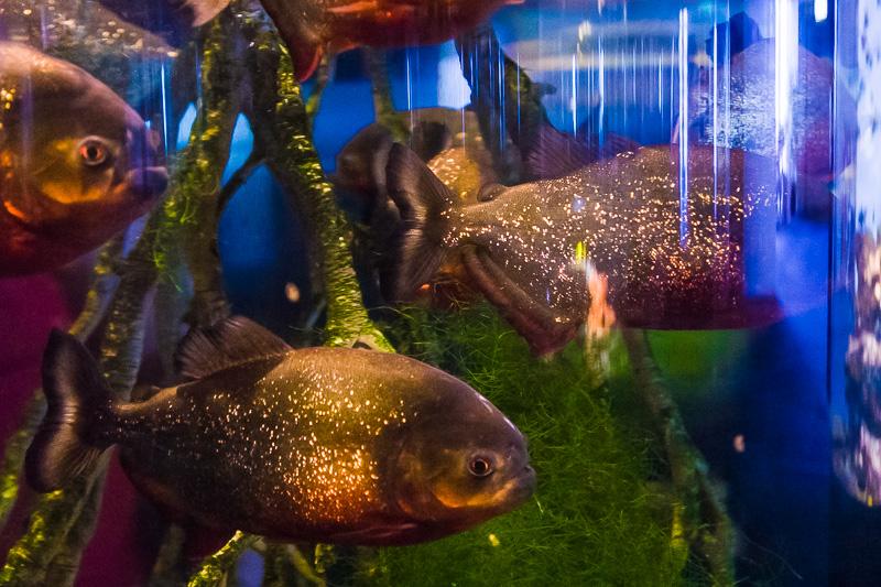 Piranha Rosso (Pygocentrus Nattereri)