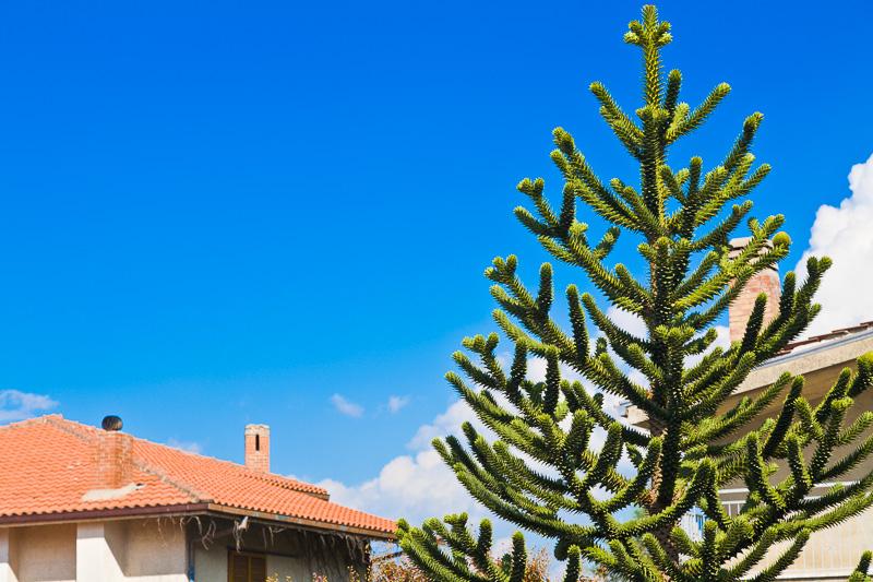 L'araucaria araucana, il pino del Cile