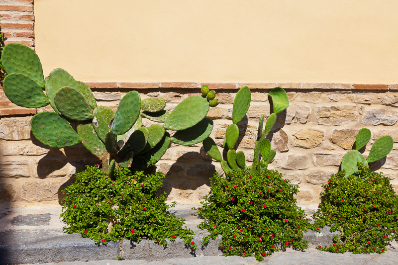 Cactus Opuntia (fico d'india)