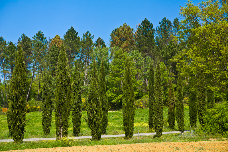 Alberi di Cipressi