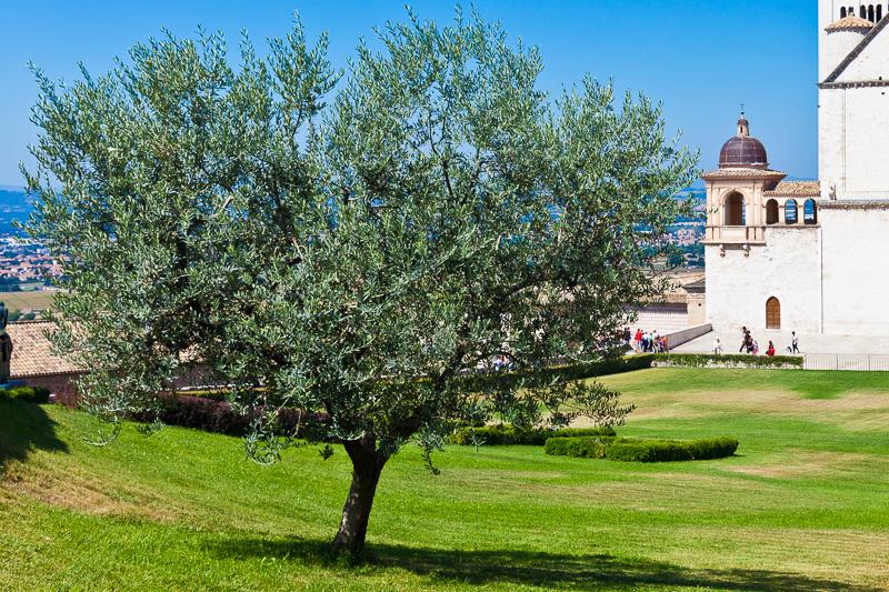 L'albero di Ulivo