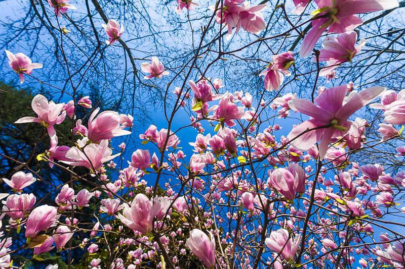 Fiori rosa di magnolia
